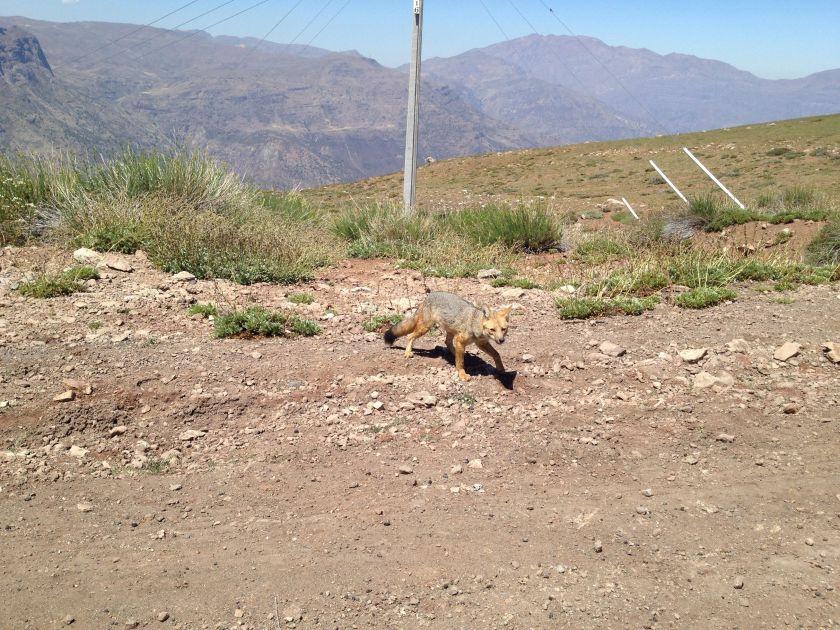 Fuchs am Straßenrand