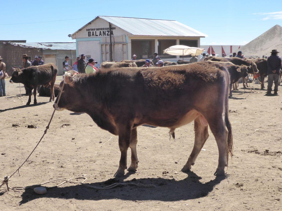 Bullenmarkt am Titicacasee